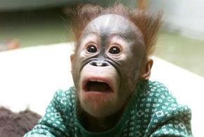 Chimpanze chocado